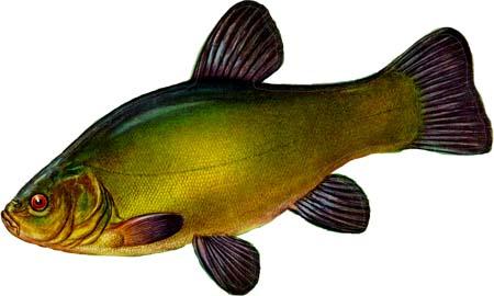 Тело...  Линь - преимущественно озерная и прудовая рыба, есть в...