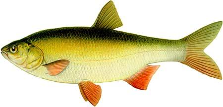 Язь - довольно крупная рыба, встречаются особи живой массой 2,5-3,5 кг...